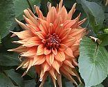 Dahlie orange