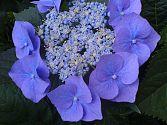 Teller-Hortensie blau