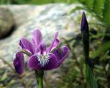 Schwertlilie lila