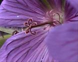 Bechermalve - Blütenstempel