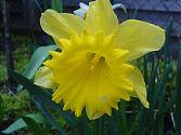 Osterglocke gelb