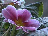 Primel rosa
