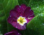 Primel lila