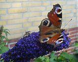 Tagpfauenauge im Schmetterlingsbaum