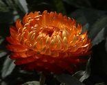 Strohblume orange