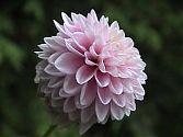 Dahlie rosa