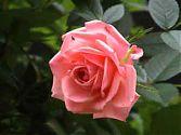 Topfrose rosa klein