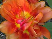 Tulpe orange gefüllt