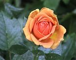 Rose Ashram (1)