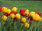 Tulpe gelb und rot