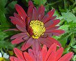 Chrysantheme rot