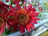 Chrysantheme rot später