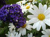 Vanilleblume und Margerite