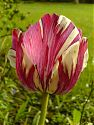 Tulpe rosa-weiß-gestreift