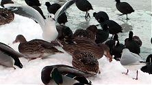 Landende Möwe zwischen Enten