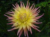 Dahlie rosa-gelb