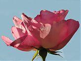 Edelrose rosa (1)