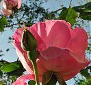 Edelrose rosa (2)