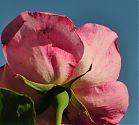 Edelrose rosa in den Himmel betrachtet