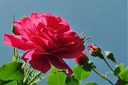 Rose Rosarium Uetersen pink (1)