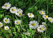 Gänseblümchen weiß