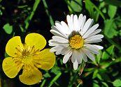 Gänseblümchen weiß mit Kuhblume gelb