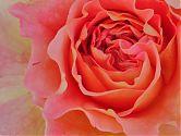 Rose Augusta Luise rosa