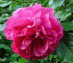 Rose Rosarium Uetersen pink (2)