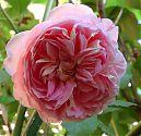 Rose Heritage rosa