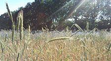 Kornblumen im Kornfeld