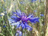 Kornblume blau