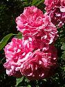 Rose Rosarium Uetersen - in Dolden