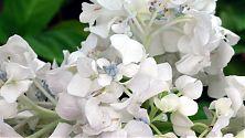 Hortensie weiß mit blauen Einsprengseln