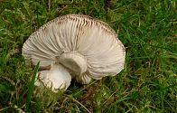 Ein Pilz mit Lamellen (4)