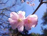 Zierkirsche rosa (1)