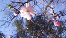 Zierkirsche rosa (2)