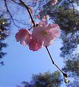 Zierkirsche rosa (3)