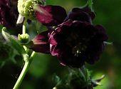 Akelei auberginenfarbig (2)