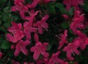 Azalee Pink
