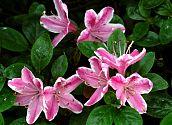 Azalee rosa-weiß