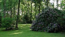 Rhododendron - riesig und fliederfarben