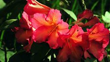 Rhododendron orange-rot
