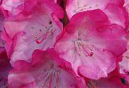 Rhododendron rosa-weiß (2)