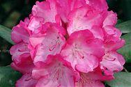 Rhododendron rosa-weiß (3)