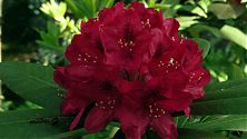 Rhododendron rot (2)