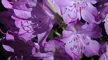 Rhododendron fliederfarben (3)
