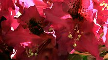 Rhododendron rot (3)