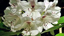Rhododendron weiß (3)