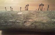 Pilze auf Holzscheit
