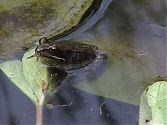 Frosch 5